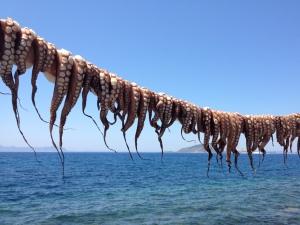 Aegean octopus