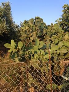 Cactus, Tigaki