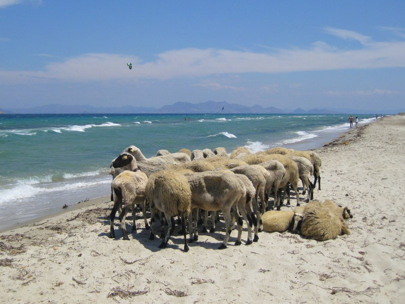 Sheepies on the beach between Marmari and Tigaki, Kos