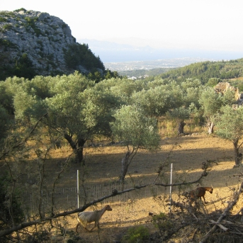 Olive grove in Zia