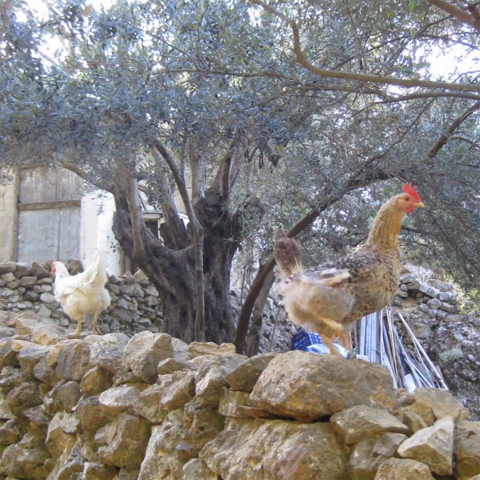 Chickens in Zia